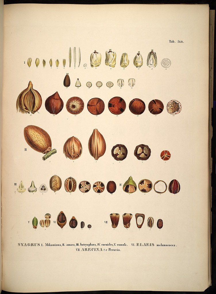 Syagrus + Elaeis + Arecina species (palm seed anatomy) | Flickr