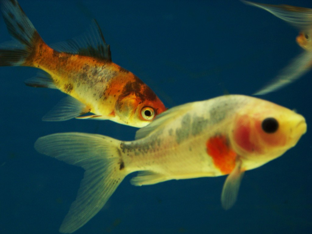 Calico fish see thru fish angel duck faced fish flickr for Whiting fish at walmart