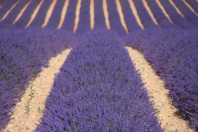 Image result for lavender lane