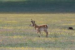Male Pronghorn