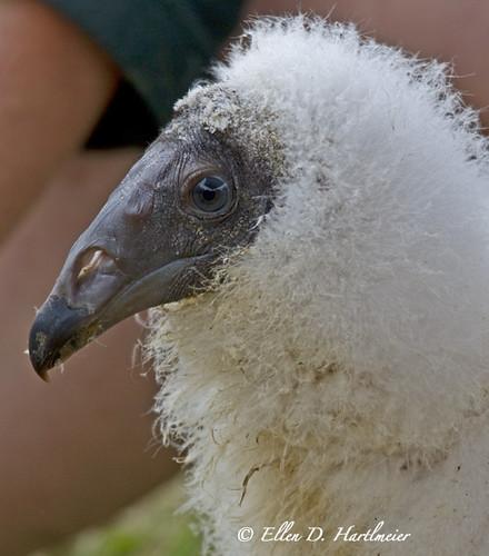 6 week old Baby Turkey Vulture IMG_5400.jpg   www ...