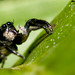 Jumping Spider @ Chiling Waterfall