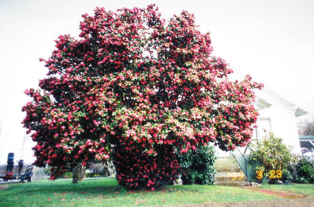 Mom's Camelia Tree | T...