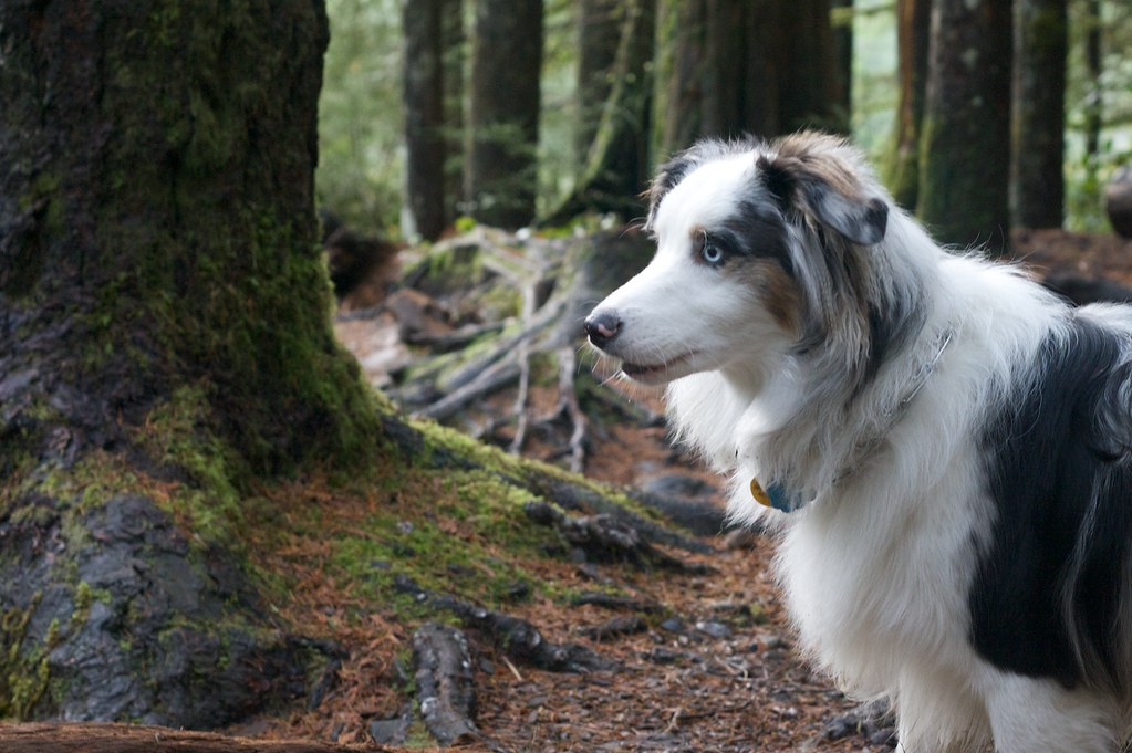 beautiful australian shepherd which i thought was an alask u2026