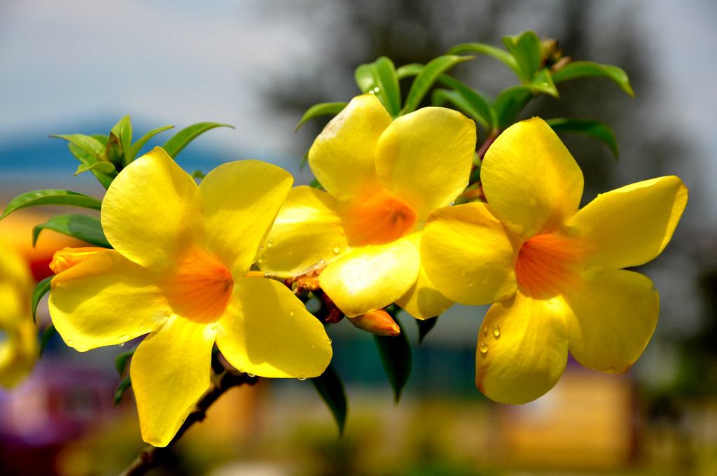 bunga loceng arwani ab halim flickr