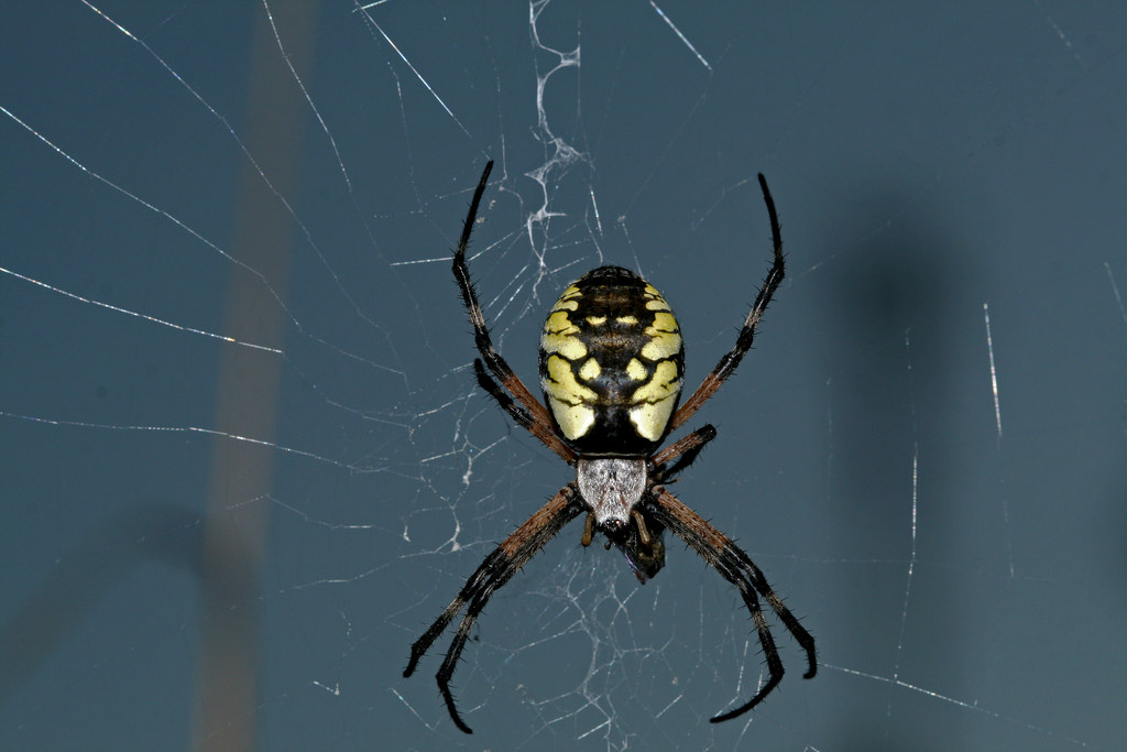Black And Yellow Garden Spider Argiope Aurantia This Is Flickr