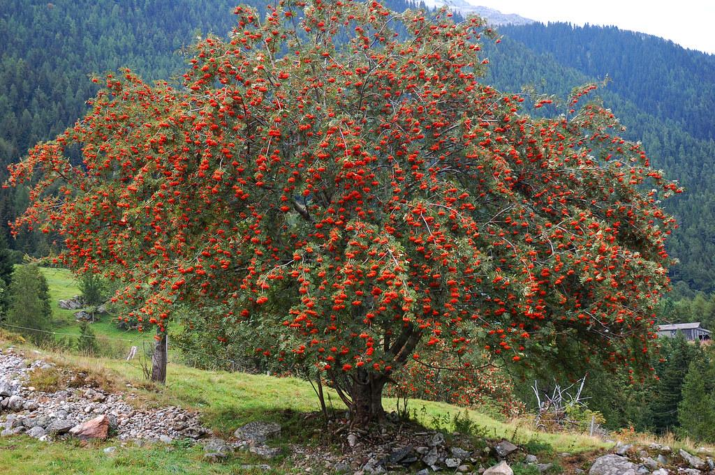 Rowan tree | A magnificent Rowan tree just west of le Buet