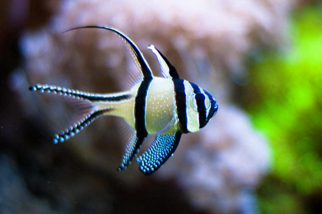 cardinal fish සඳහා පින්තුර ප්රතිඵල