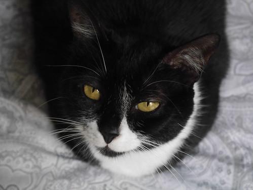Gitana, gata blanquinegra dulce y tranquila esterilizada, nacida en Febrero´14, en adopción. Valencia. ADOPTADA. 32071503694_0274e59f0b