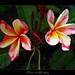 Plumeria - Madame Poni Seedling #1