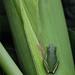 tree_frog on corn_8-1-09_045