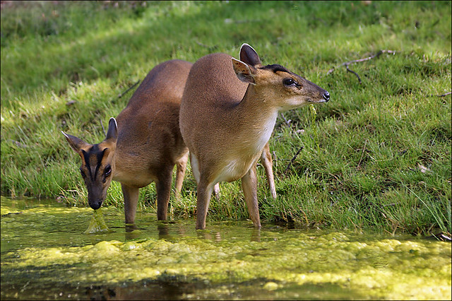 Barking Deer Chinese Muntjac Chinese Muntjacs In The