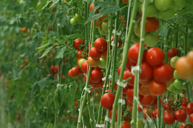 Greenhouse tomatoes at the ITC landfill and recycling center