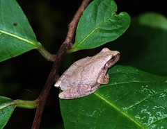 Spring Peeper | by entogirl