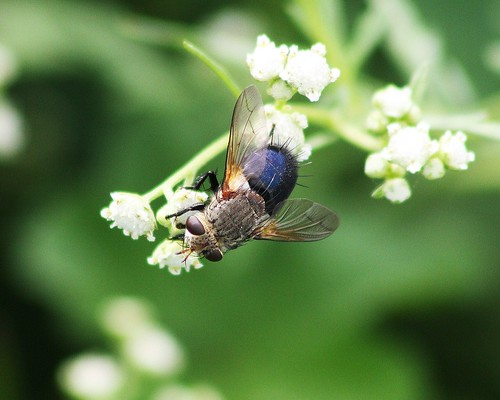 Archytas apicifer, Tachinid Fly | by tripp.davenport