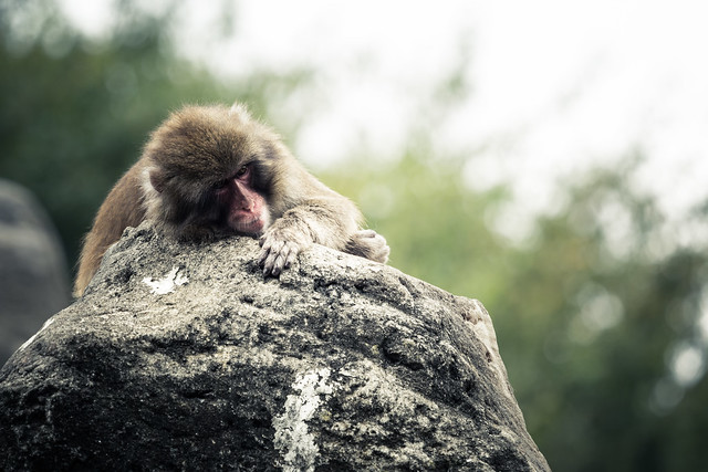 20170219_01_Japanese macaque