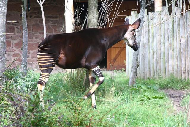 Okapi | Unusual mix of Half deer and half Zebra | DianneB ...