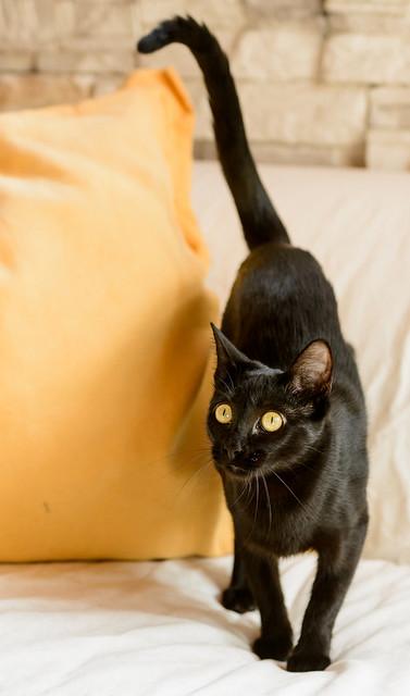 Selva, gatita Pantera guapa, estilizada y divertida esterilizada, nacida en Mayo´16, en adopción. Valencia. ADOPTADA. 32172563363_6e39623997_z