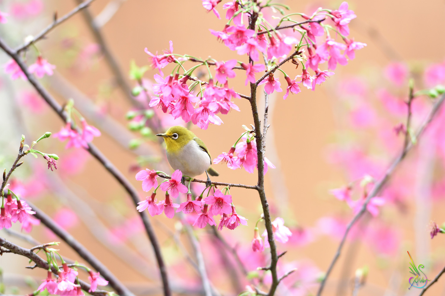 Sakura_White-eye_5240