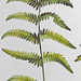 Moerasvaren / Marsh fern / Thelytpteris palustris