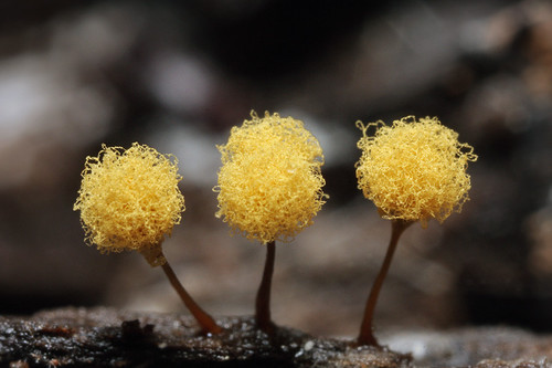 slime mold 5 | by myriorama