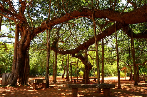 banyan tree - Auroville | by Zolivier
