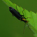 Podabrus brevicollis, Soldier Beetle