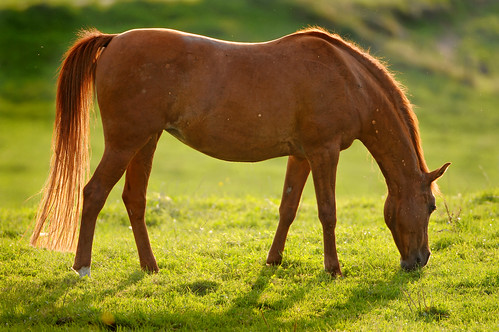 Backlight brown horse | by Tambako the Jaguar
