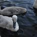 Mute swan cygnet on the Heriot-Watt University lake.
