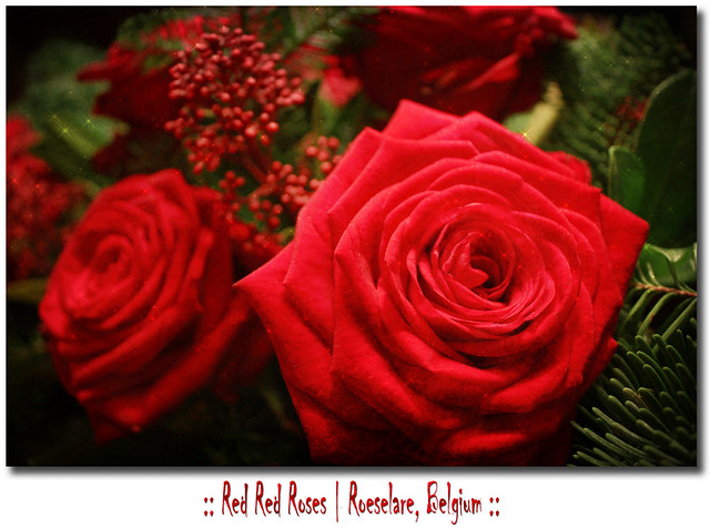 red red roses happy new year by mathieu soete