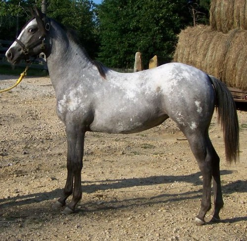 Loud Blue Roan 2008 Appaloosa Filly For Sale Awesome