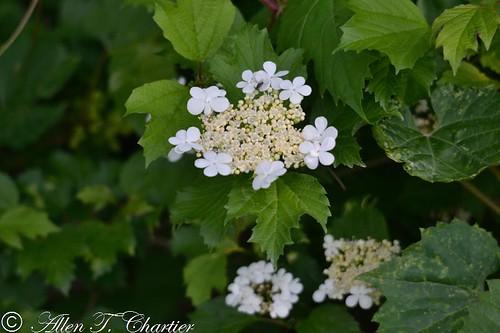 Viburnum trilobum (American Highbush-Cranberry)