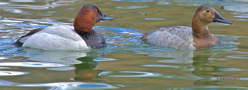 Canvasback pair - 1 | by keithricflick