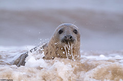 Grey Seal | by Craig Jones Wildlife Photography
