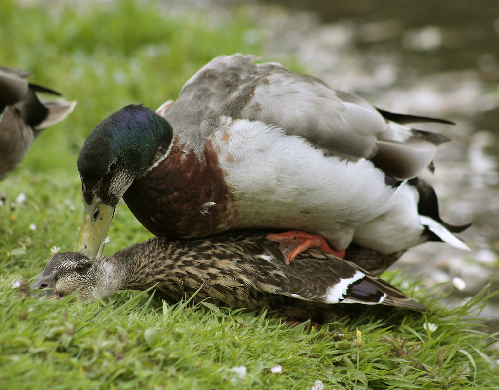 Mallard Duck Mating  The Less Pleasing Side Of Nature For -3569