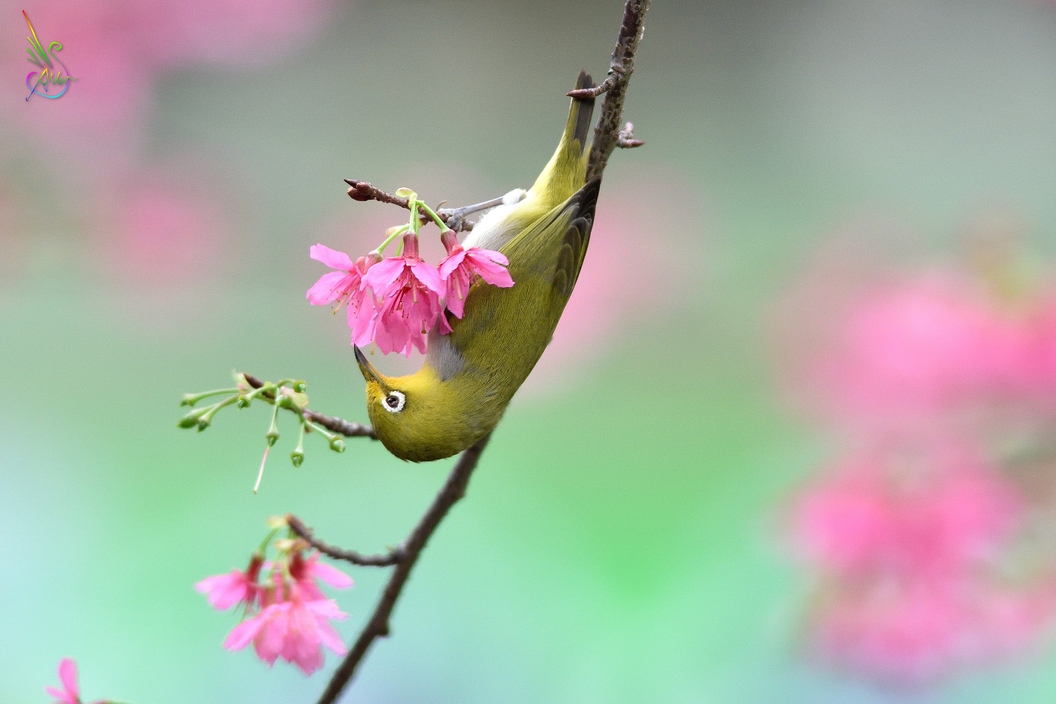 Sakura_White-eye_5571