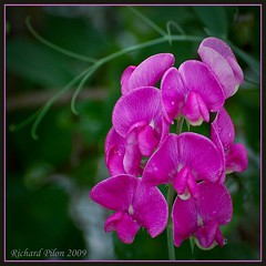 Sweet Pea Flower | by Richard Pilon