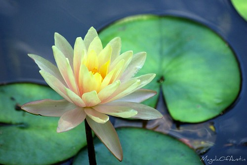 Water lily in Zilker Garden | by Magda of Austin