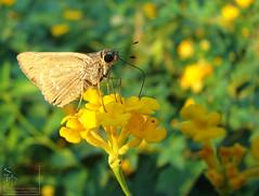 028. Rice Swift -  Skipper ? butterfly?? ID pls