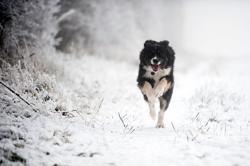 Dog running in the snow | by Documentally