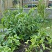 Giant killer tomato plants