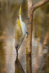 Brown Honeyeater Drinking | by pointr