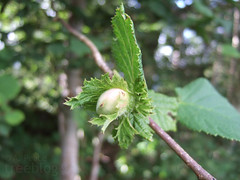 Hazelnut (4th August 2009) | by treeblog