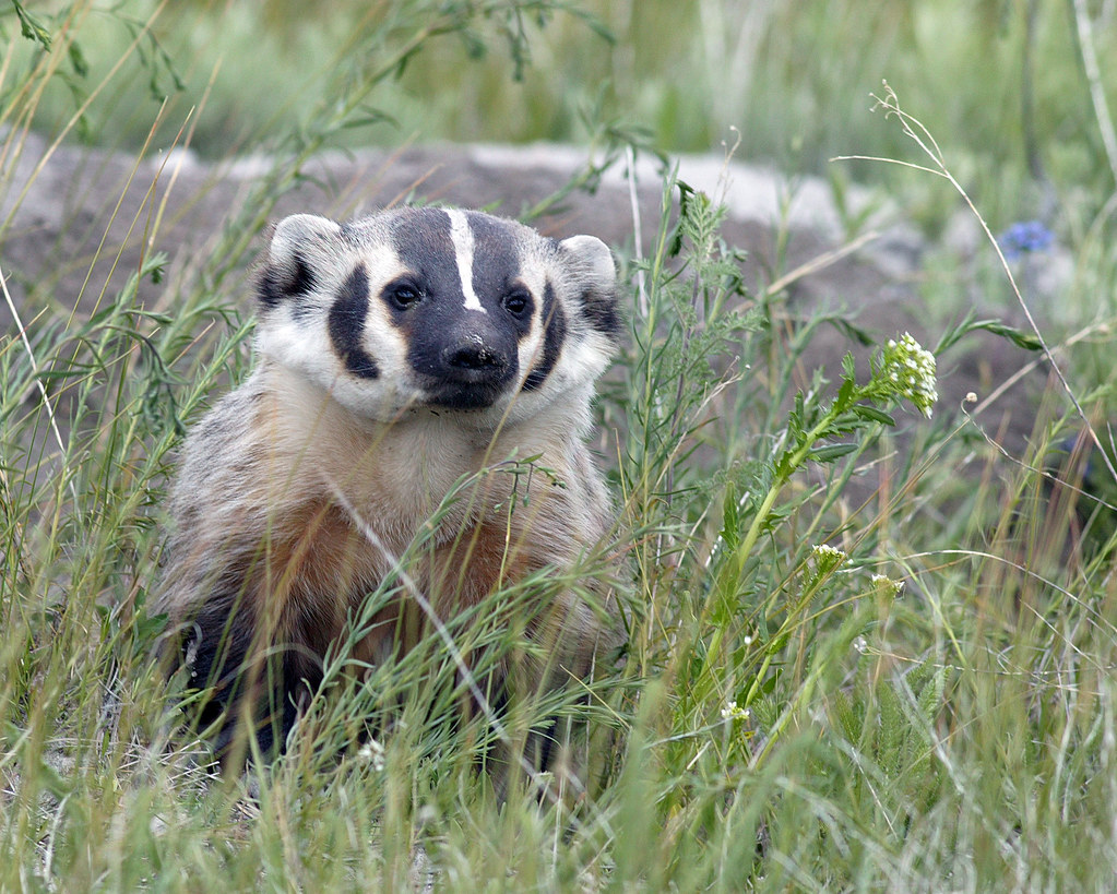 American Badger Taxidea Taxus American Badger Front