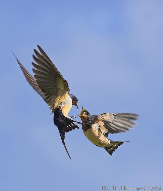 Barn Swallows Mid Air Feeding | This is an image of an ...