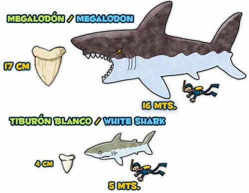 How big was Megalodon? | Based on the fossil teeth found wor… | Flickr