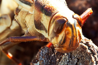 Migratory Locust | by WilliamBullimore