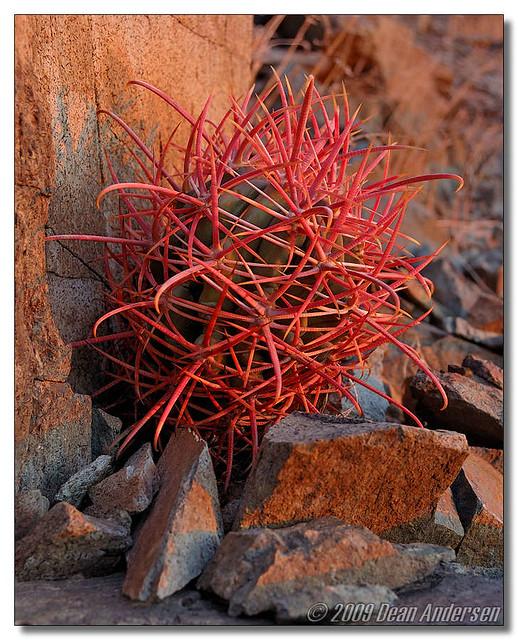 Baby Barrel Cactus   A small baby barrel cactus growing in ... Baby Barrel Cactus