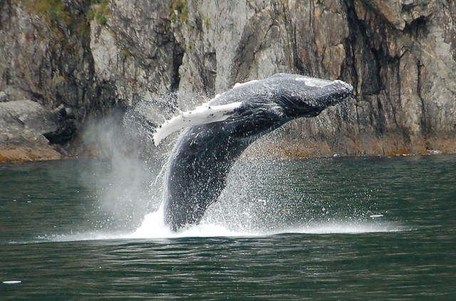 Africa's Madagascar Antongil Bay is the most important breeding place for humpback whales in the Eastern Hemisphere.