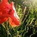 Wheat (Triticum aestivum) and poppy (Papaver rhoeas)